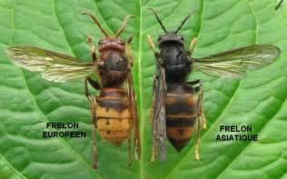 comment lutter contre le frelon asiatique le blog du