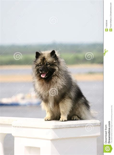 wolf spitz stock photo image  culture fluffy brown