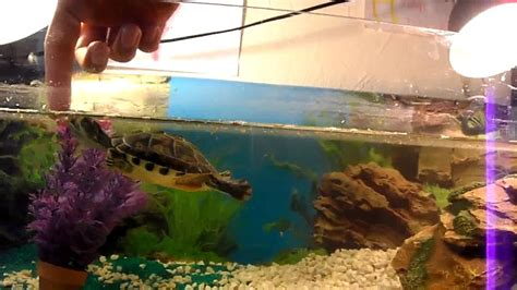 tortue dans aquarium