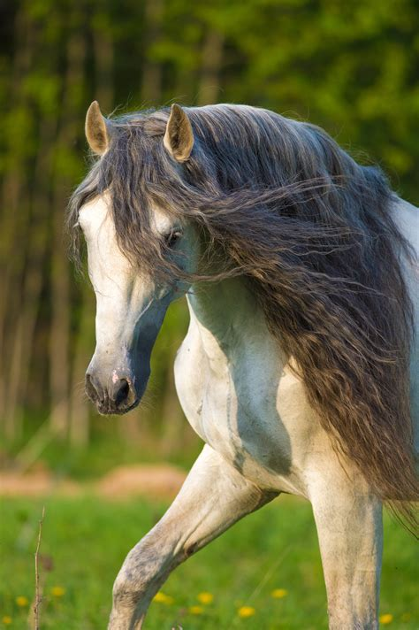 andalusian horse portrait summer stallion horses ialha isolated awards grey end lusitano feathers gallop runs preview