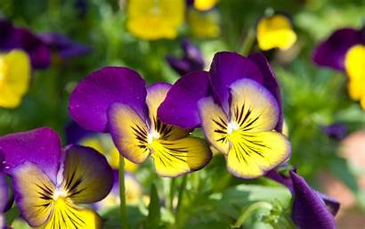 Purple Yellow Flowers Pansy Wallpapers 1920 1200