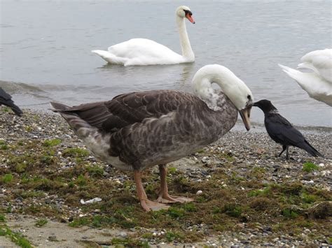 Bird Hybrids Greylag Goose X Mute Swan