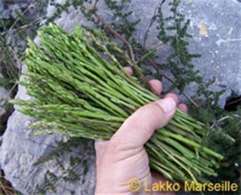 cuisiner des asperges sauvages asperge sauvage asparagus acutifolius