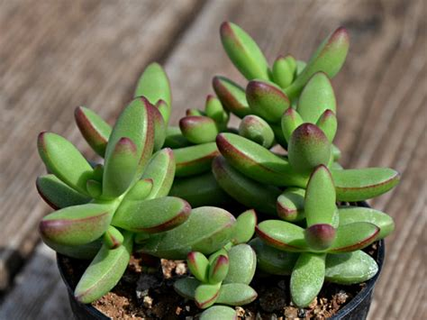 crassula nudicaulis var herrei world  succulents