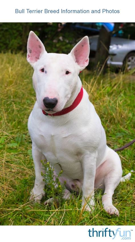 bull terrier breed information   thriftyfun