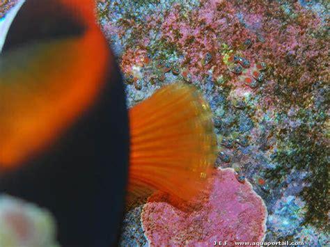 anemone reproduction reproduction hiprion melanopus x frenatus forum