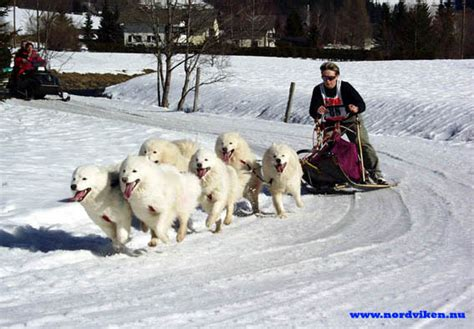 The Organization For The Working Samoyed