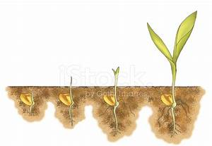 Growing Corn from Seed Stock Photos - FreeImages.com