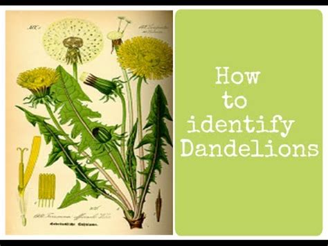 Dandelion Identification Edible Wild Weeds Youtube