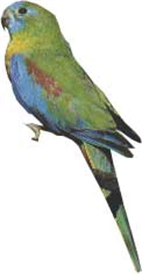 perruche turquoisine fiche d 233 taill 233 e oiseaux de cage