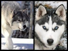 Siberian Husky and Wolf