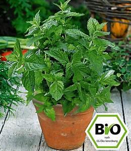 Kräuter Pflanzen Topf : marokkanische bio minze 1a pflanzen kaufen baldur garten ~ Lizthompson.info Haus und Dekorationen
