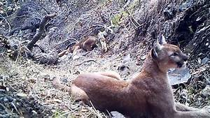 WARNING: GRAPHIC CONTENT- Glendora Area Mountain Lion ...