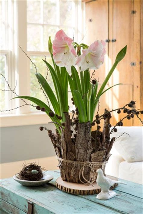 amaryllis bulbs placed in a large terracotta pot are surrounded by random overlapping sheets of