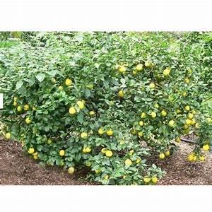 Lemon Plant At Rs 20   Piece