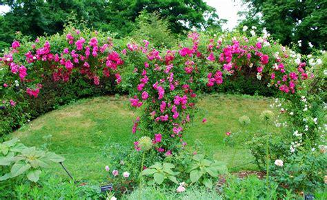 roses gardens mille fiori favoriti pink roses in the cranford rose garden