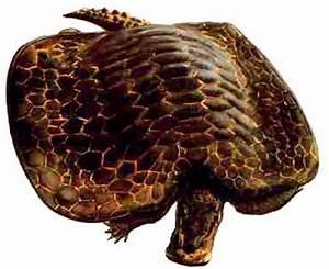 Prehistoric animals: Henodus chelyops.