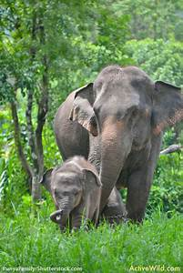 Indian Elephant Facts For Kids & Adults: Pictures ...