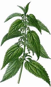 Plante Detoxifiante : plante du jour urtica dioica ou plus commun ment l ortie ~ Melissatoandfro.com Idées de Décoration