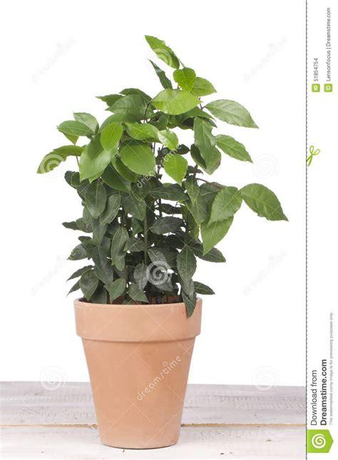 laurier en pot laurier en pot 28 images planter un laurier gamm vert laurier en pot de 55cm www jardinerie