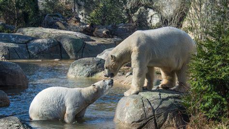 nc zoo polar bears     breeding season