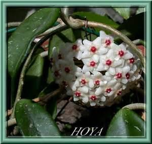 Plante Intérieur Grimpante : plante grimpante interieur fleurie ~ Louise-bijoux.com Idées de Décoration