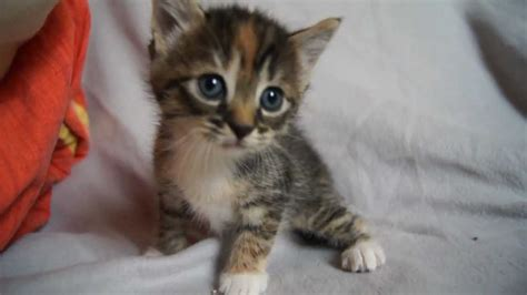cute baby kitten meows  mama cat    youtube