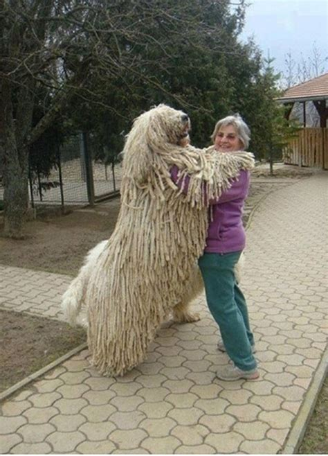 Huge Dogs (12 pics) - 1Funny.com