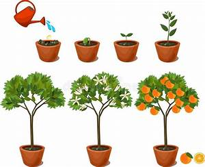 Plant Growing From Seed To Orange Tree  Life Cycle Plant