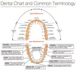 Dental Terminology and Chart
