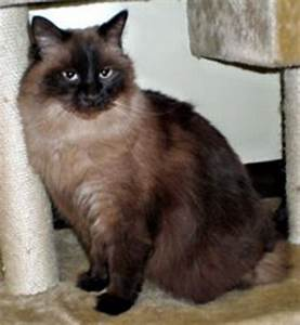 1000+ images about Siamese cat on Pinterest | Seal point ...