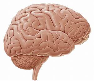 Cerebrum  Anatomy