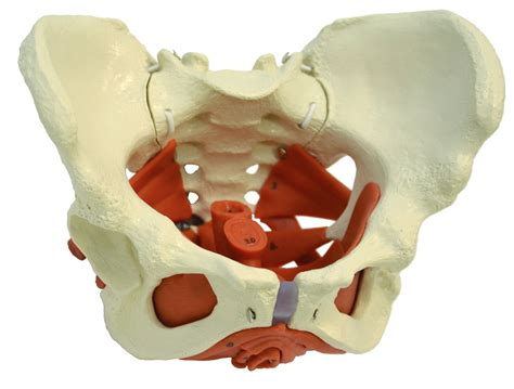 Pelvic Floor Muscles Images by Rudiger Anatomie Pelvic Model With Lumbar Spine Muscles