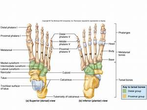 Plantar Aspect Of Foot Bones