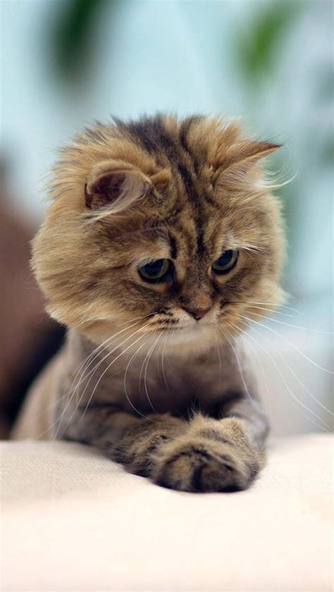 cat hairstyles kitty cats pantherine why kittens crazy know sweet adorable animals