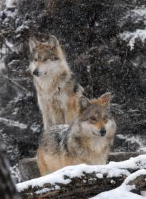 Mexican Gray Wolves Habitat