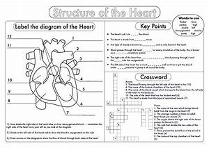 Gcse Biology  Heart Structure Worksheet Pack