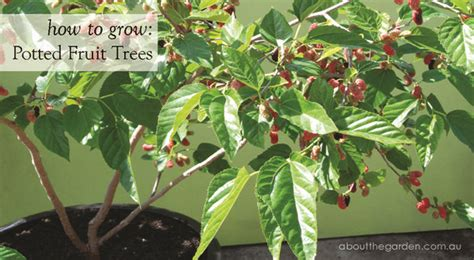 grow fruit trees  pots plant position