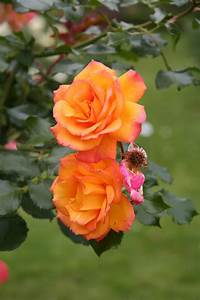 Garden Therapy  Roses Are Love
