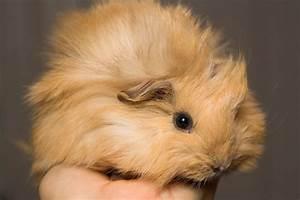 Cage A Cochon D Inde : les cages pour cochons d 39 inde blog ~ Dallasstarsshop.com Idées de Décoration