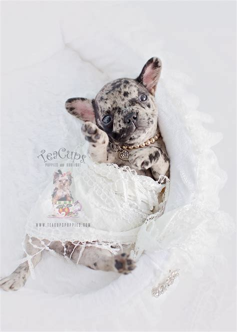 Merle Frenchie For Sale At Teacups Puppies And Boutique Teacups Puppies Boutique