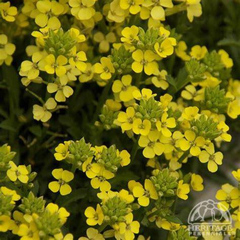 erysimum golden glow wallflower perennial perennials hybrida hybrid plant profile