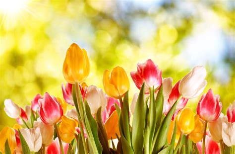 Hd Tulip Picture by Glowing Tulip Flowers In Nature Hd Wallpapers