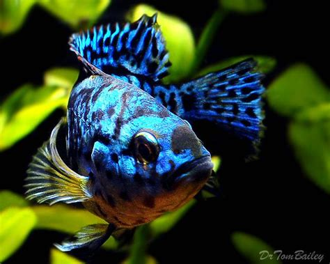 most colorful cichlids colorful south american cichlids scientific name hybrid