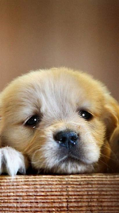 Retriever Golden Puppy Dog Wallpapers Paws Dogbreedslist