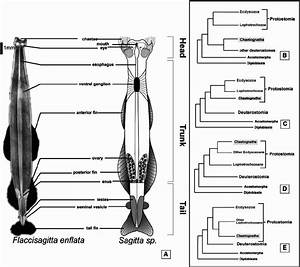 The Chaetognath Body Plan And Possible Phylogenetic