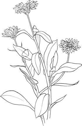 Marigold 6 coloring page   SuperColoring.com   Coloring