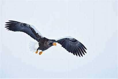 Eagle Flight Animated Eagles Gifs Sea Bald