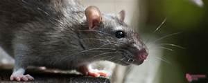 Comment Tuer Un Rat : tuer rat finest u with tuer rat saignement important et ~ Melissatoandfro.com Idées de Décoration
