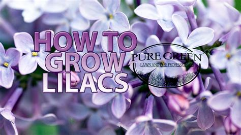 lilacs michigan grow